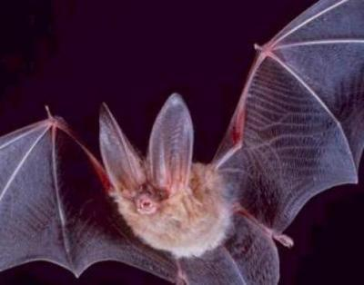 The DNA of Bats
